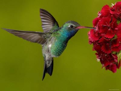 O Emerald Hummingbird Punilla Vale